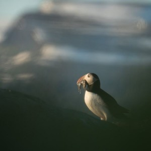 A puffin holding fish in its beak.